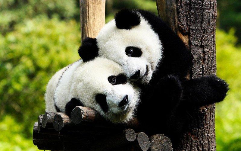 Giant Panda Chengdu 02