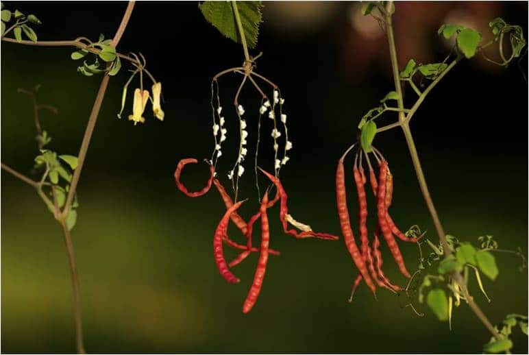 dactylicapnostorulosa
